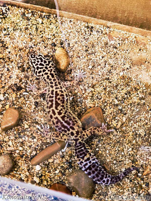Геккон, Пятнистый леопардовый эублефар