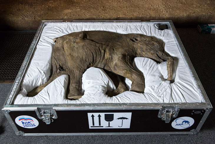 Мамонтенок Люба в лондонском музее (9 фото)
