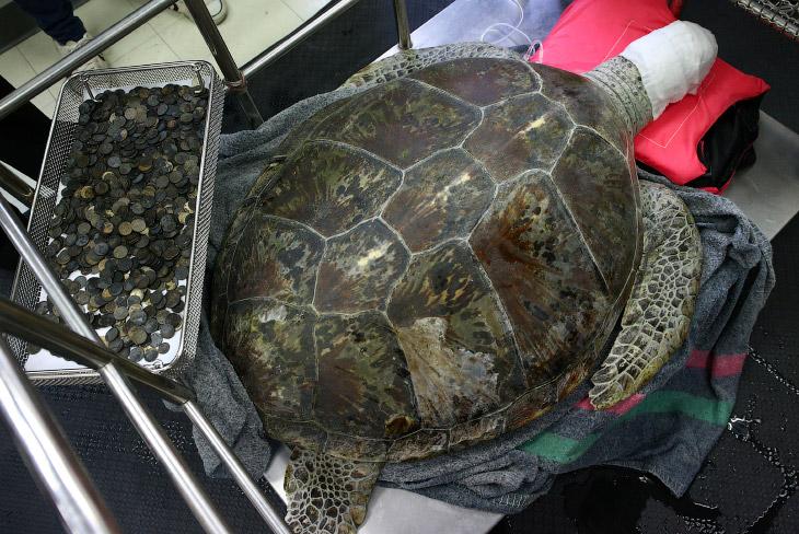 1. 60-килограммовая черепаха, получившая кличку Осмин, что в переводе означает «Банк», перенесл