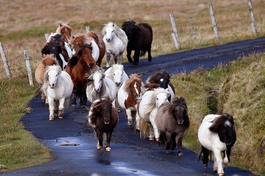 Шетландские пони — всемирно известная порода. Они маленькие, умные и невероятно милые!