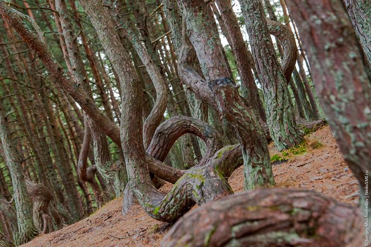 Танцующий лес (21 фото)