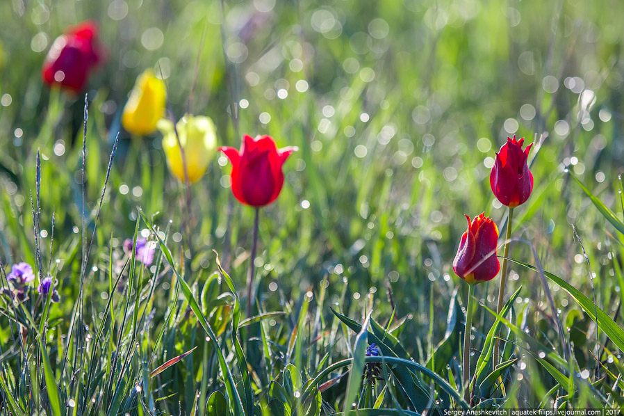 9. Кстати, в Крыму известно 8 разновидностей тюльпана Шренка, которые отличаются, в основном, ц