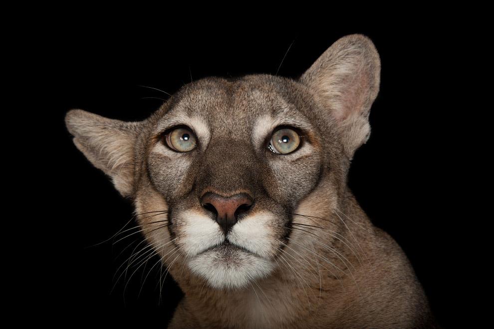 Несмотря на то, что флоридская пума по кошачьим меркам долгожитель (может прожить в дикой приро