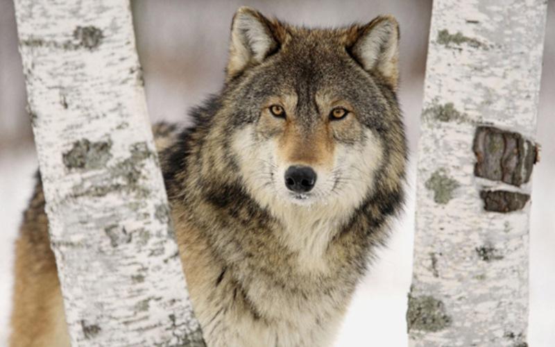 А еще волки чрезвычайно преданы. Их пары образуются на всю жизнь. Встретив свою половинку, они уже н