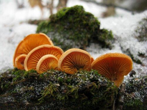 Вешенка оранжевая (Phyllotopsis nidulans). Оранжевые вешенки зимой всегда довольно симпатично смотрятся. Яркие, сочные Автор фото: Станислав Кривошеев