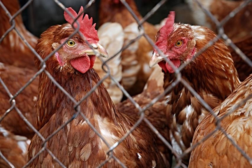 ВАстраханской области из-за гриппа уничтожено 360 тыс. птиц