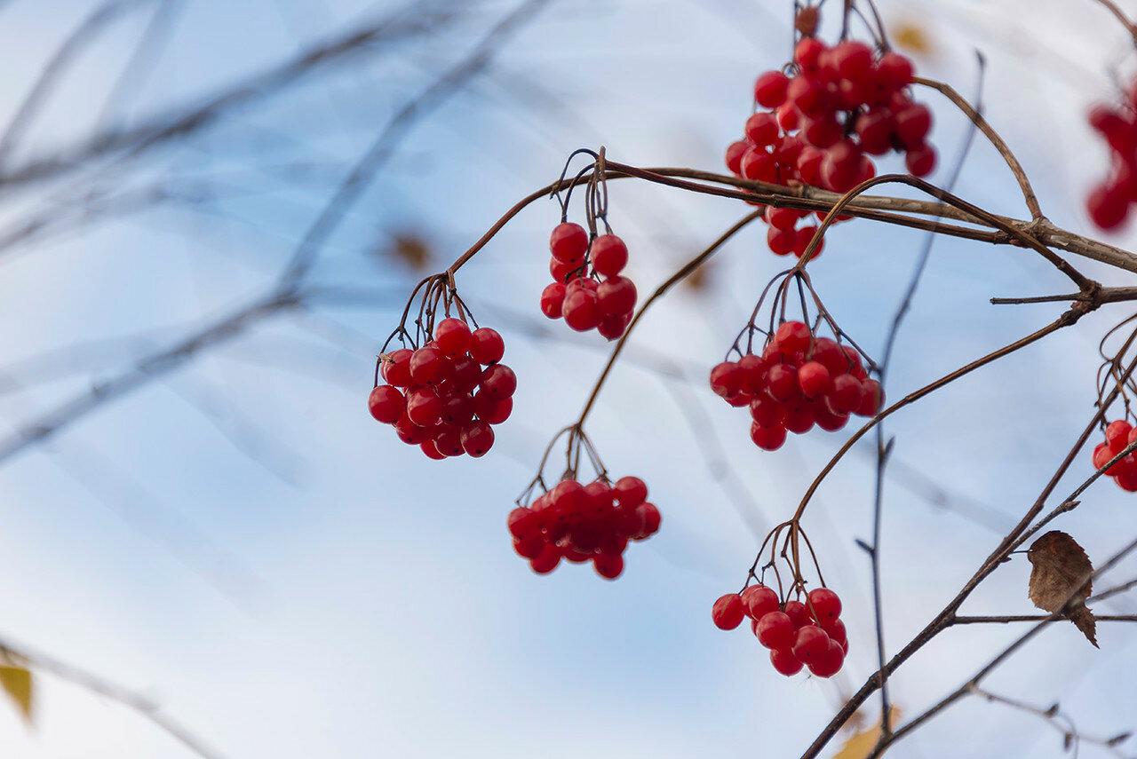 Калина обыкновенная (Viburnum opulus) Автор фото: Владимир Брюхов