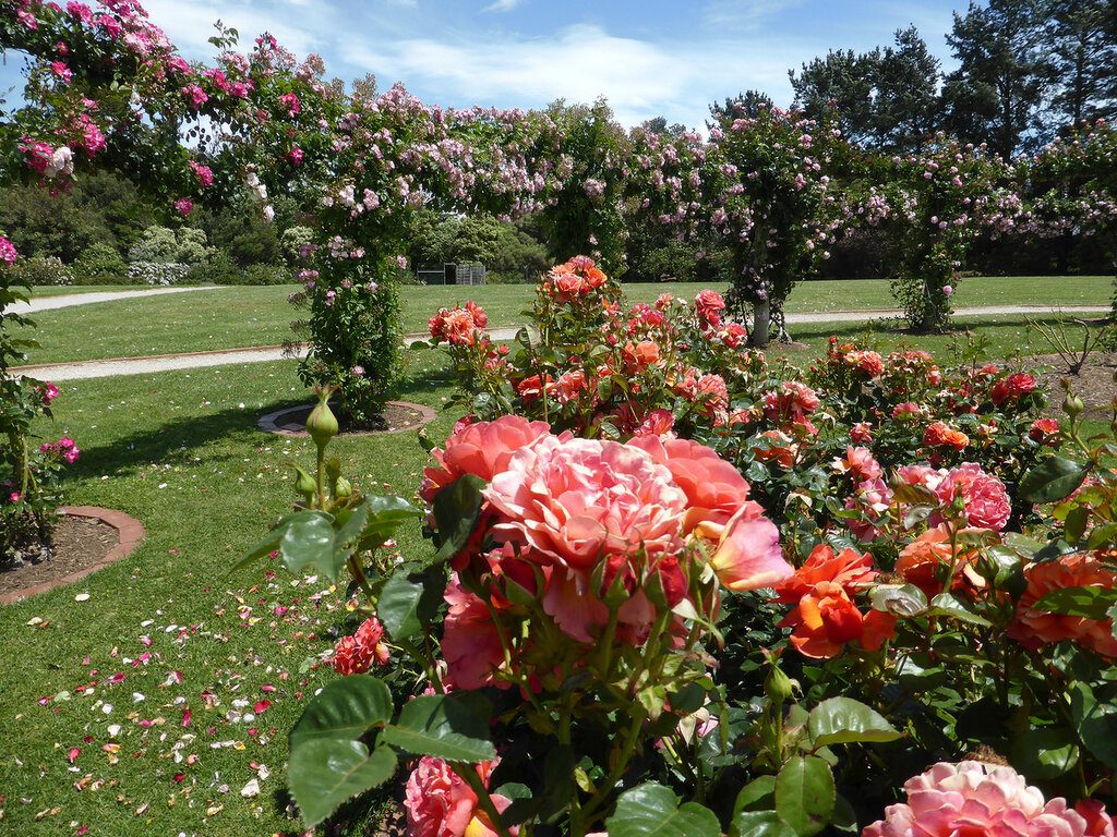 my visit to a rose garden