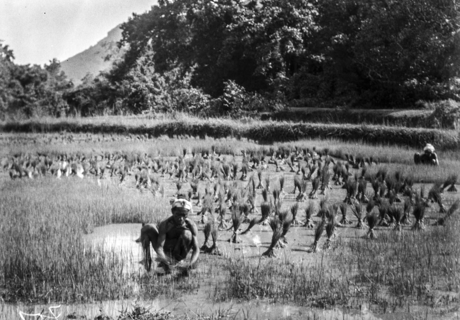 796. Орисса. На рисовом поле