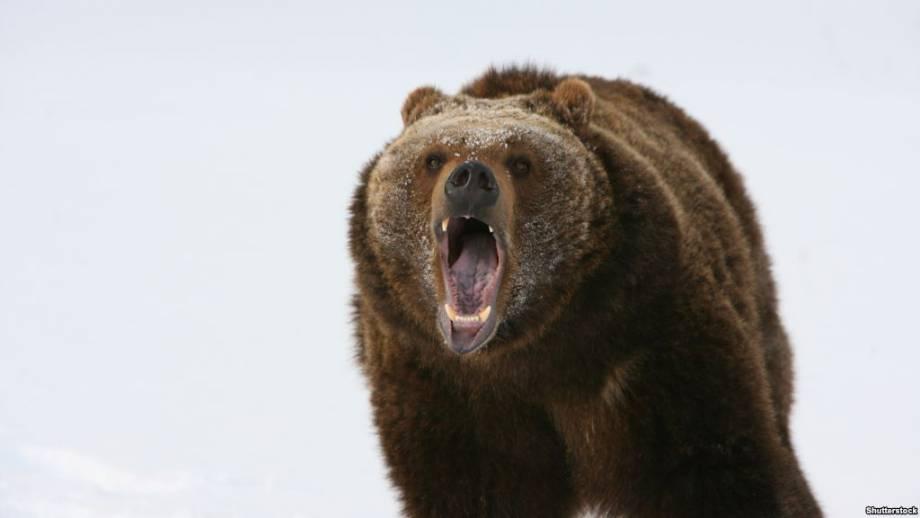 Полиция проверяет информацию о нападении медведя на людей в Белой Церкви на Киевщине