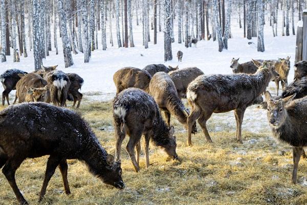 кормление оленей