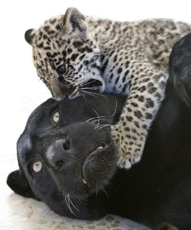 Lolo, a black Jaguar, plays with her newborn spotted cub inside their cage at Jordan's zoo in Yaduda