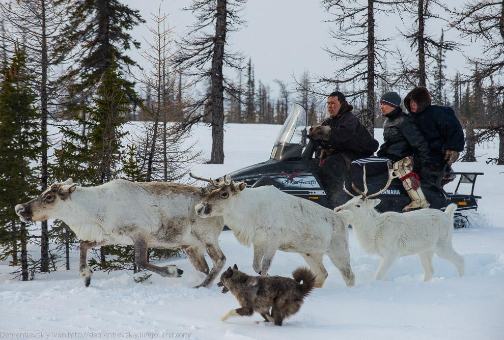 Помимо снегоходов с нами было несколько собак, без их помощи работа оленевода усложняется в нес