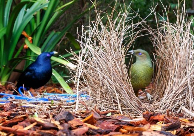 © doug  Эта птичка, пожалуй, самый большой романтик. Для будущей любимой шалашник строит домик