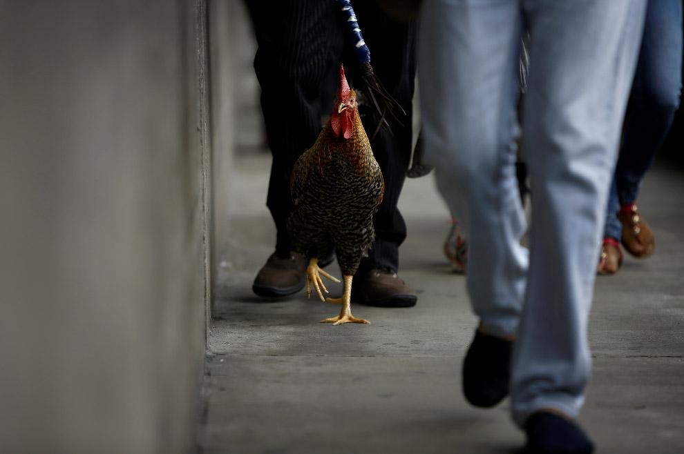 14. Жители фотографируются с петухом, как с местной знаменитостью. (Фото Juan Carlos Ulate | Re