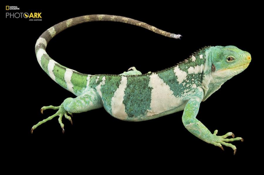 Гиеновидная собака (Lycaon pictus). Численность популяции в дикой природе составляет менее 2 тысяч о