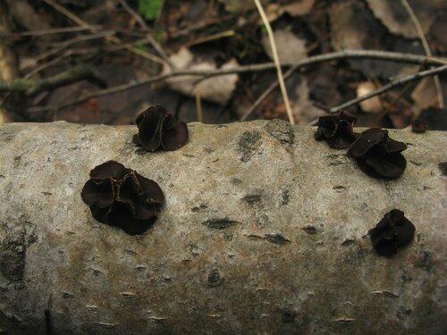 Энцелия пучковая (Encoelia fascicularis) Автор: Станислав Кривошеев