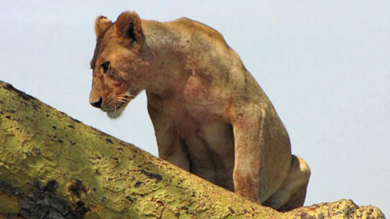 Вбане вЗапорожье лев напал на гостя