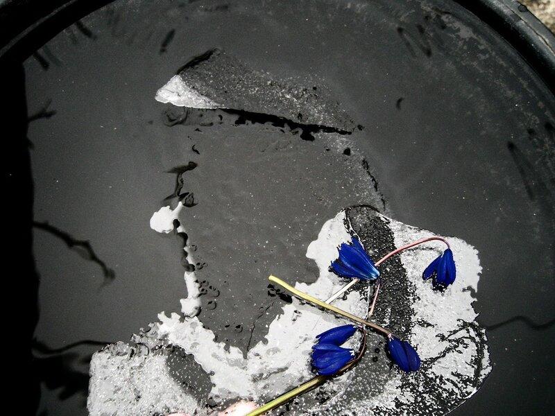 пролески и лёд