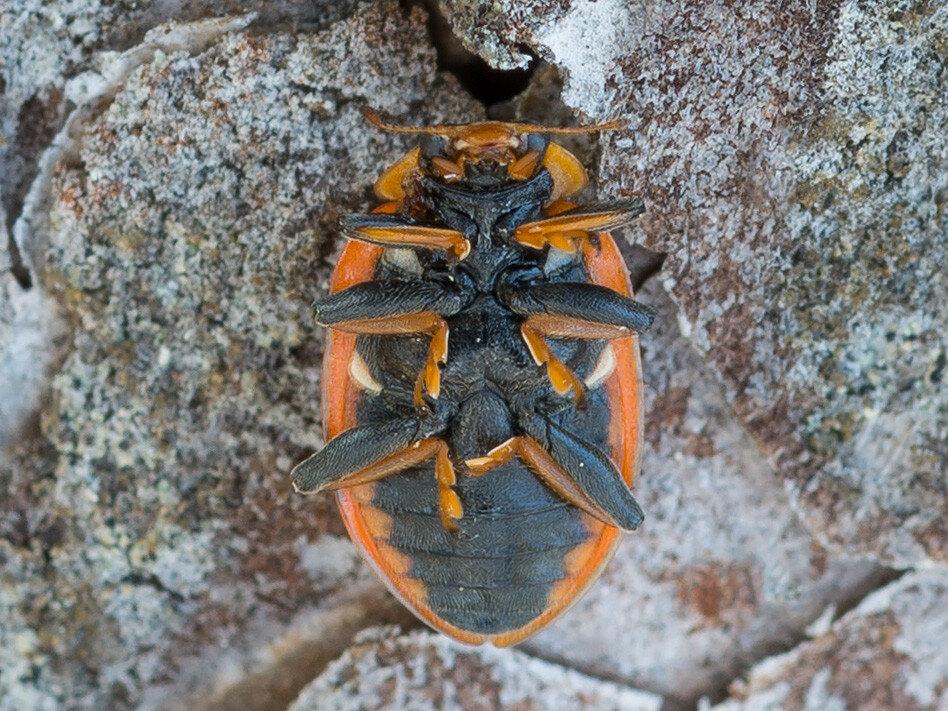 Коровка тринадцатиточечная (Hippodamia tredecimpunctata) Автор фото: Владимир Брюхов