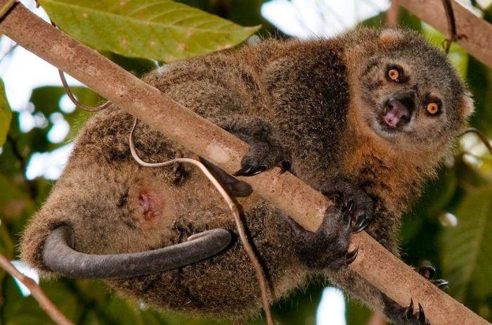 Сулавесский медвежий кускус. Симпатичное сумчатое создание, живущее на верхушках деревьев в тропиках и проводящее время преимущественно во сне