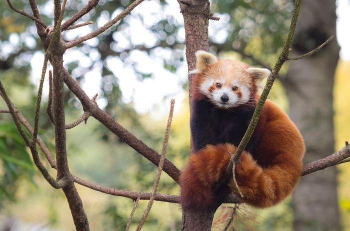 Малая красная панда. Встречается лишь в горных бамбуковых лесах китайских провинций Юньнань и Сычуань, на севере Бирмы, в Бутане, Непале и на северо-востоке Индии