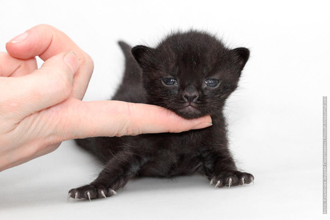 бомбей котенок питомник москва