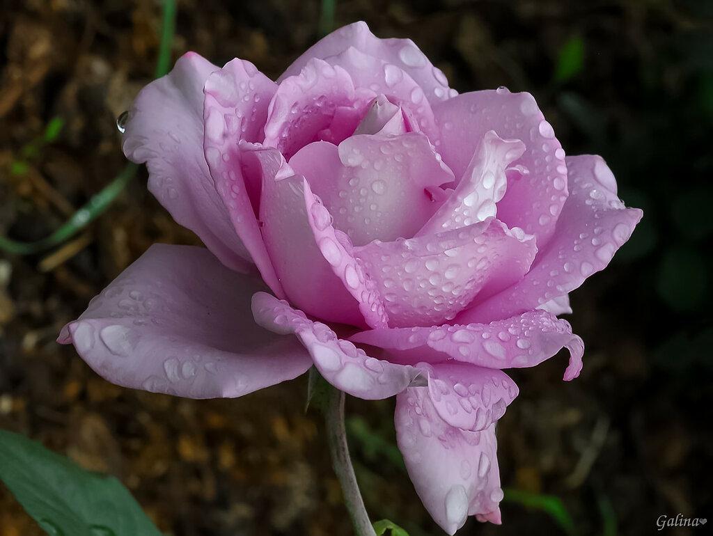Стразы для розы