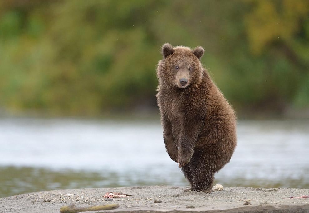 12. Медвежьи матери, которые водят медвежат, сейчас находятся в прекрасной спортивной форме: ве