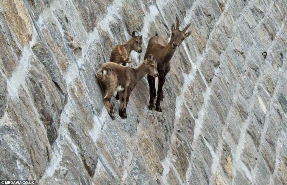 Вы вообще когда-нибудь задумывались о горных козлах? Как, как они это делают?
