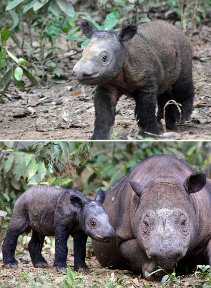Суматранский носорог.