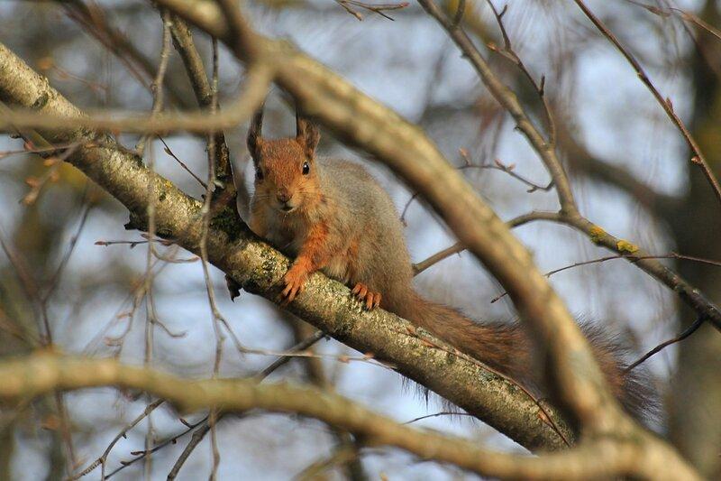 Белочка сидит на березовой ветке - Чем питаются белочки ранней весной