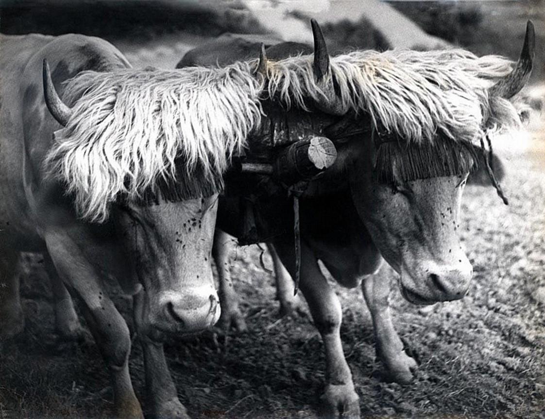 1950. Два быка