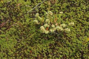 Дивала однолетняя (Scleranthus annuus)