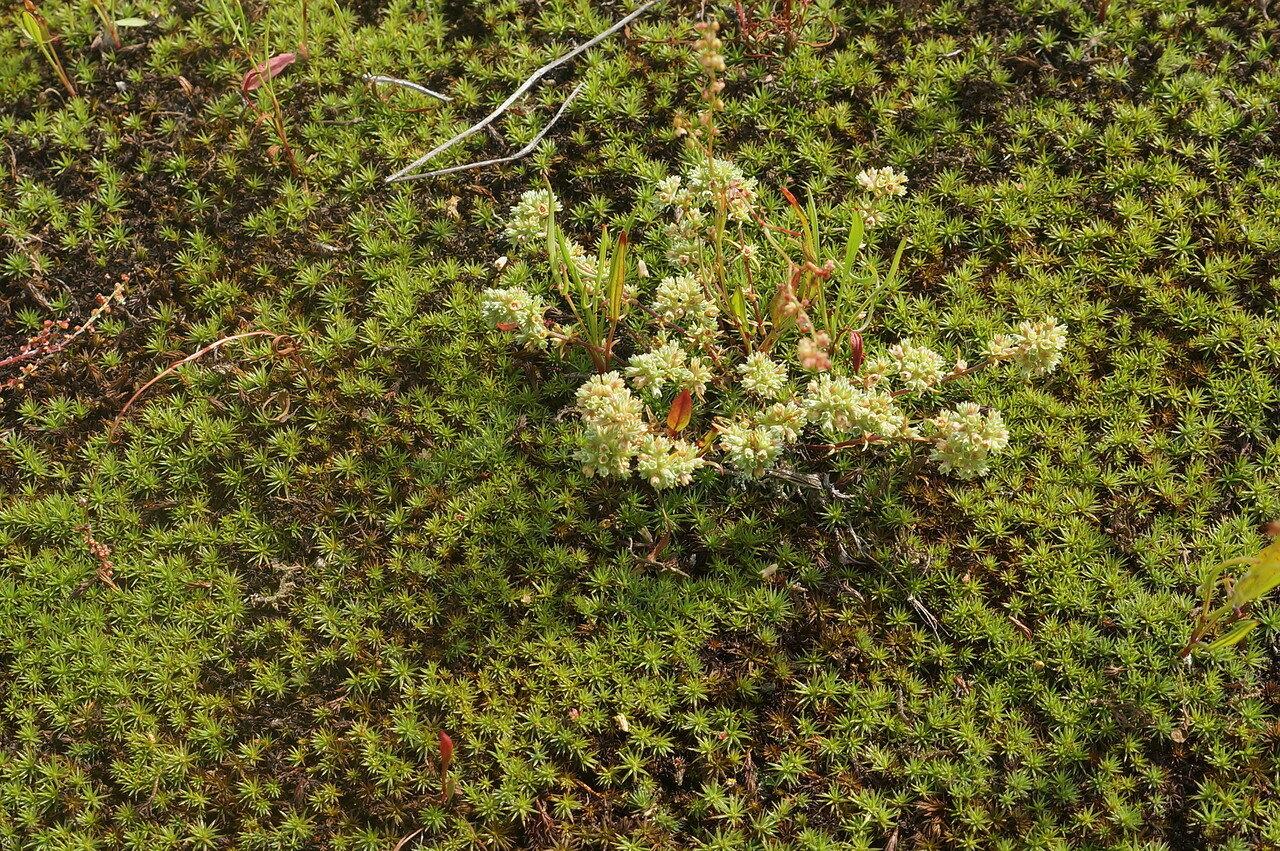 Дивала однолетняя (Scleranthus annuus). Автор фото: Привалова Марина
