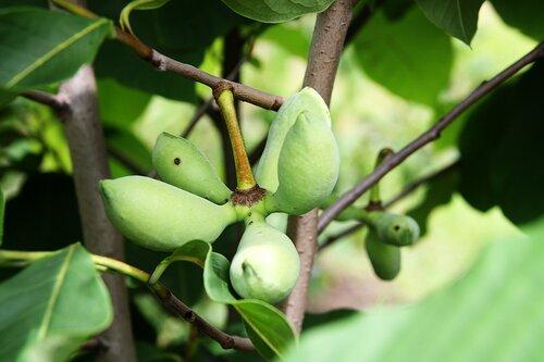 Какие сорта яблок выращивают в краснодарском крае?