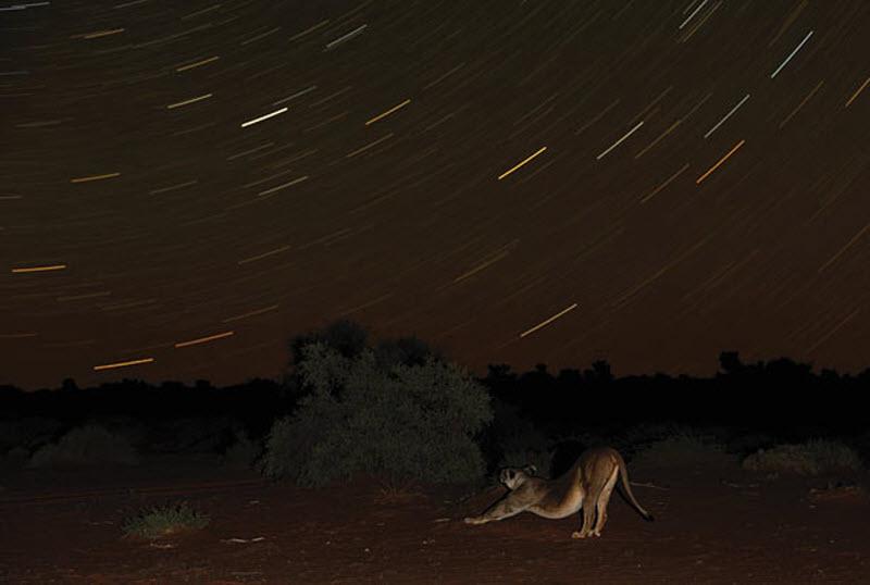 1. Львица распласталась под звездным небом в пустыне Калахари. (HANNES LOCHNER / BARCROFT MEDIA)