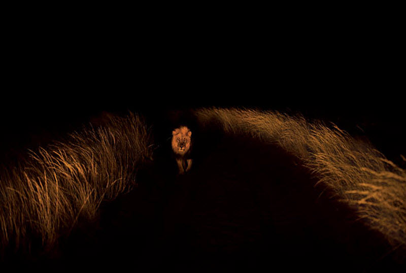 15. Лев на охоте ночью. (HANNES LOCHNER / BARCROFT MEDIA)