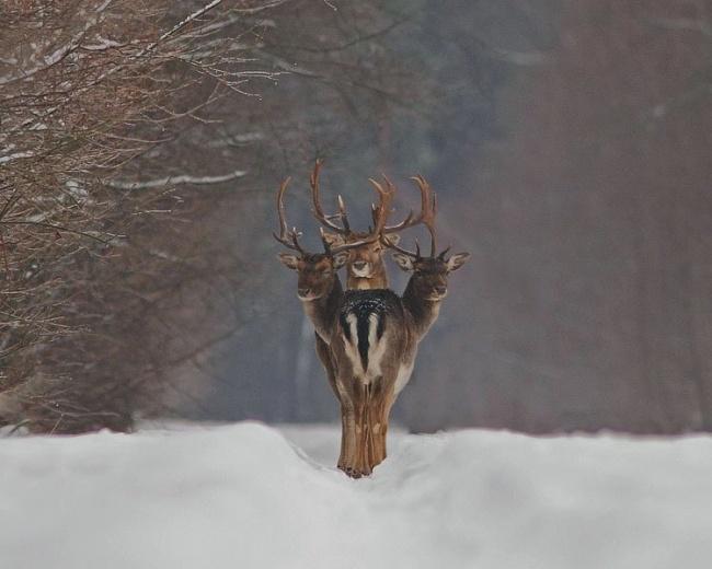 Трехглавый олень.