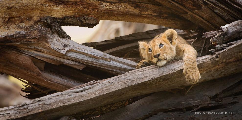 15. Леопардик.