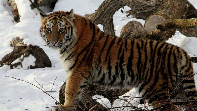 Охотоведы словили тигрицу, которая пугала граждан поселка вХабаровском крае