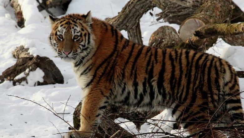 ВХабаровском крае отловили тигрицу, два месяца пугавшую граждан поселка