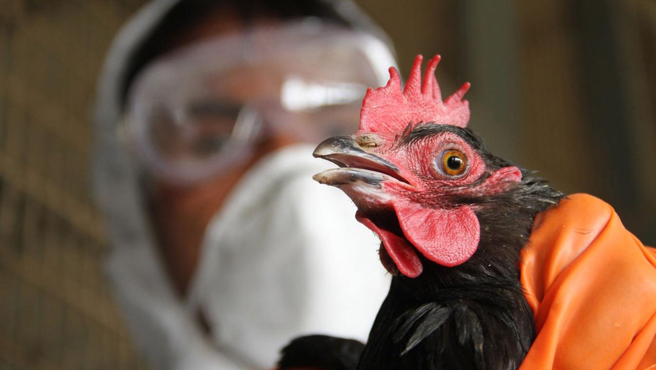 Власти Марий Элиз-за гриппа птиц запретили реализацию птицы