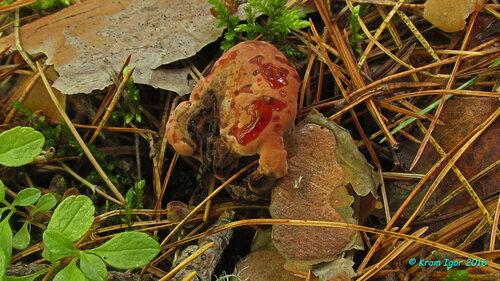 Гиднеллум ржавчинный (Hydnellum ferrugineum) Плодовые тела на разных стадиях развития Автор фото: Кром Игорь