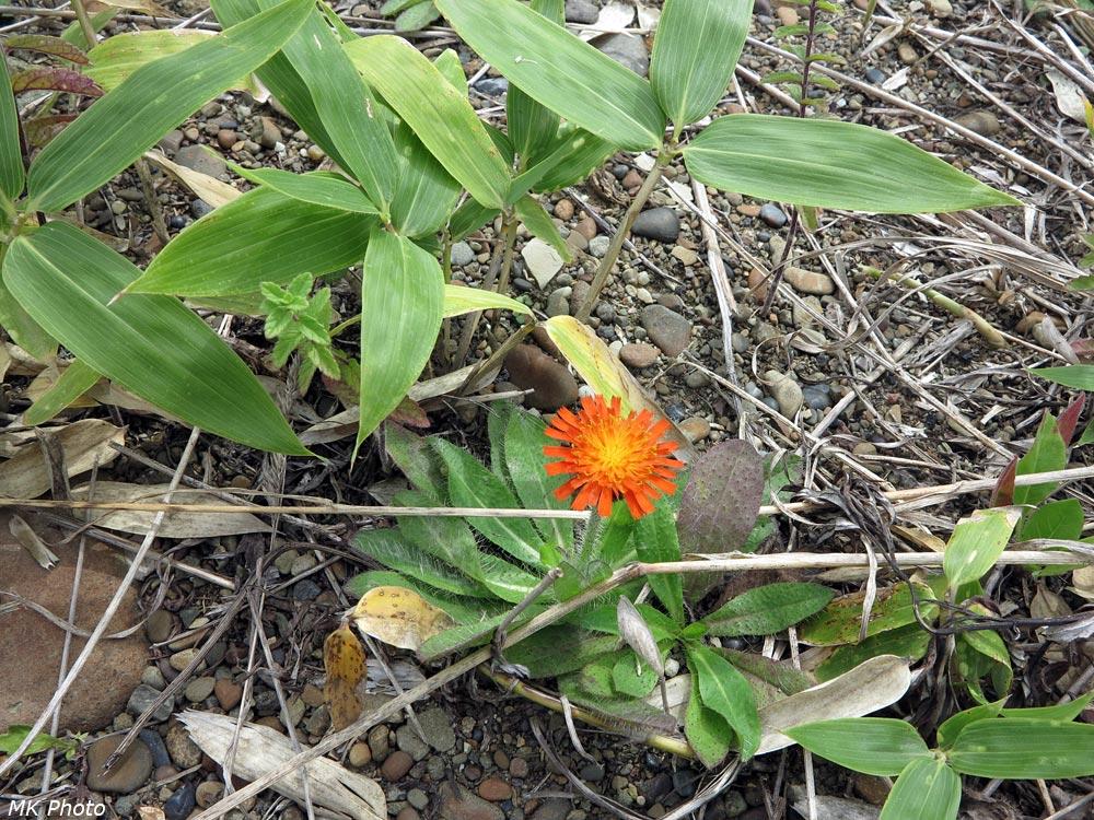 Ястребинка оранжево-красная