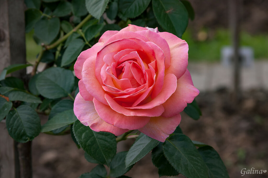 Сколько шарма, прелести, изыска,Сколько силы в царственном цветке!Лишь шипы – защита зоны риска –Оставляют след свой на руке.