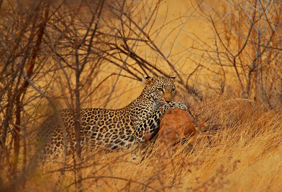 В Африке обитает как во влажных джунглях центральных регионов континента, так и в горах, саванн