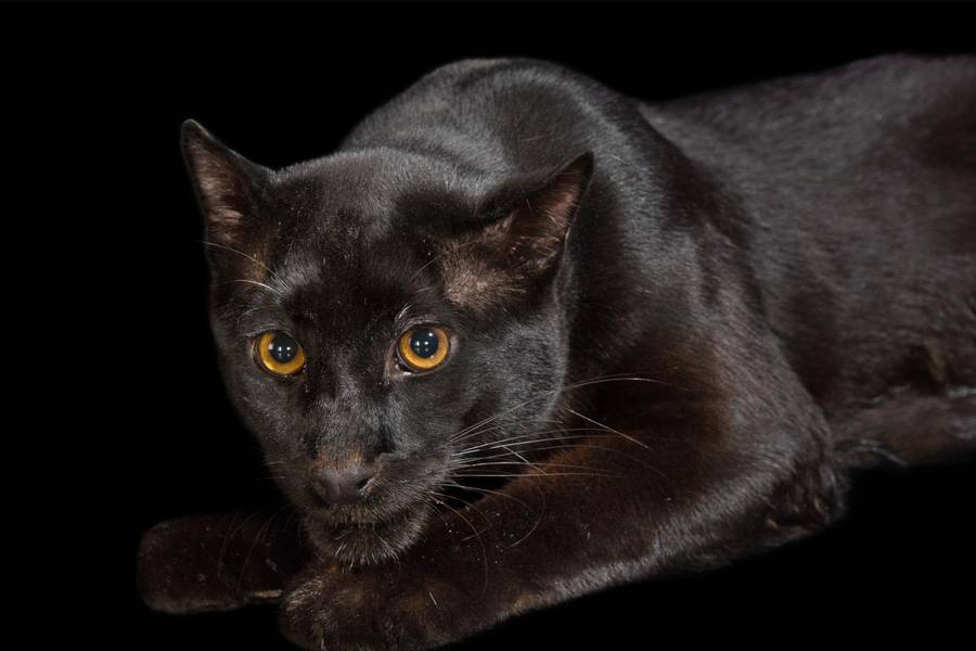 Melanistic (black) Asian Golden Cat