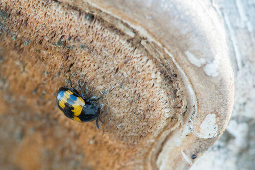 Альбом:  Мир под ногами /  Жесткокрылые или жуки / Неразобранное в Жесткокрылые Автор фото: Владимир Брюхов