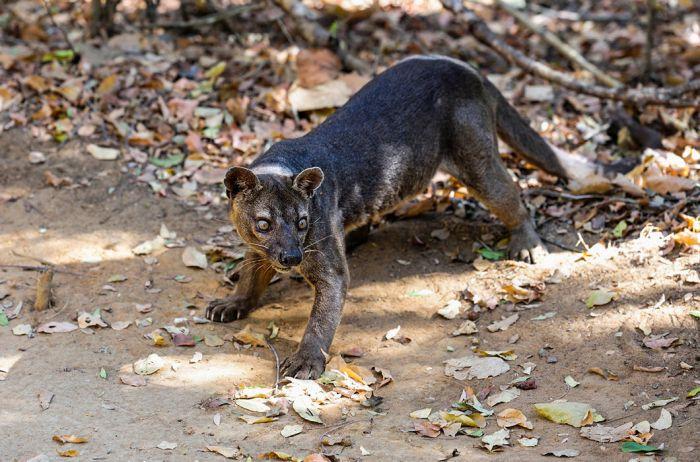 Фосса, эндемик острова Мадагаскар. По внешнему виду — нечто среднее между виверрой и небольшой пумой. Иногда фоссу называют и мадагаскарским львом